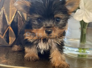 Yorkie for Rehoming