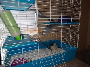 3 female rats for sale