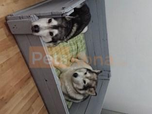 Purebreed Siberian husky puppies