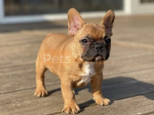 AKc Registered French Bulldog Puppies
