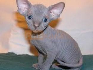 Sphynx Kittens For Sale.