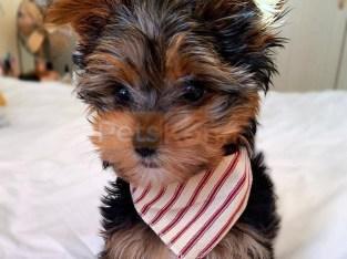 Beautiful Yorkshire Terrier Puppies 2 Girls, 1 Beautiful Yorkshire Terrier Puppies 2 Girls, 2 Boy