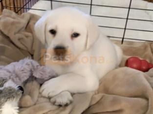 Akc Golden Retriver Puppies for sale