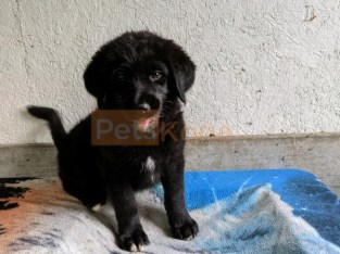Smart Labrador puppies chosen from the finesse breed ready for adoption