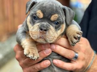 Pocket American Bully Puppies