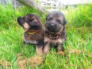 Beautiful Pedigree German Shepherd Pups
