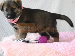Super Adorable German Shepherd Puppies