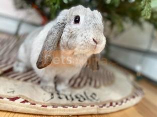 mini holland lop adult female rabbit