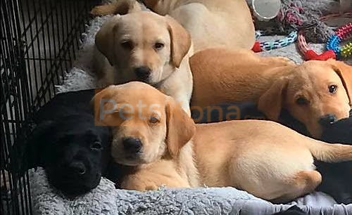 Beautiful Labrador Retriever puppies for sale