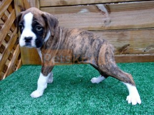 ambitious Boxer Puppies