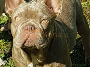 Quality isabella&tan boy 7 month old socialised excellent anatomy