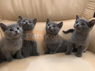 Cuddle Hypoallergenic Russian Blue Kittens Available