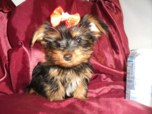 Akc Registered Yorkshire Terrier Puppies