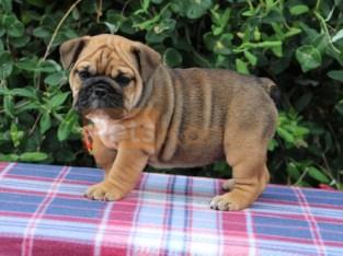 English Bulldog Puppies – Ready To Leave!