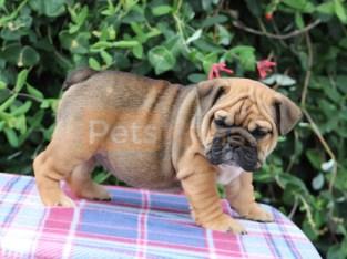 Lilac and Tan Tri Colour Bulldog Puppies For Sale!