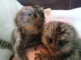 Adorable baby monkeys available