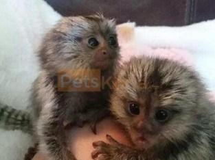 Home raised Marmoset baby monkeys ready to go.