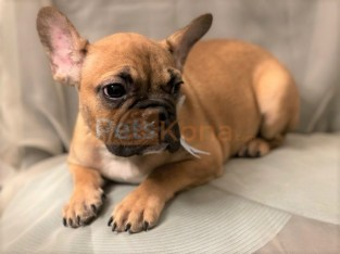 Male French Bulldogs