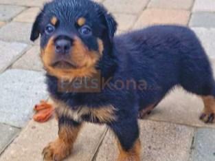Chunky Rottweiler pups – Exclusive litter / 4 left