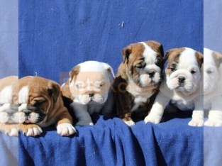 EXOTIC BULLDOG PUPPIES OF OUTSTANDING TEMPERAMENTS