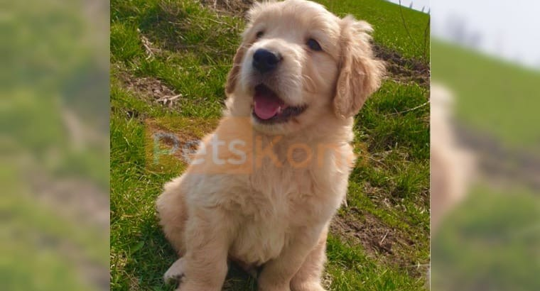 WELL SOCIALIZED / HOME GROWN GOLDEN RETRIEVER PUPPIES FOR ADOPTION
