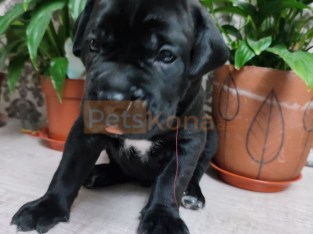 ADORABLE HOME GROWN PITBULL PUPPIES FOR RE-HOMING
