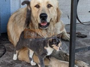 Karakachan puppies LGD
