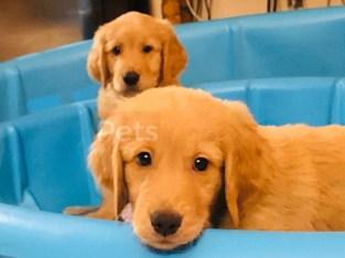 Golden Retriever Puppies For Sale