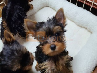 Charming male and female Yorkie puppies for adoption