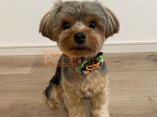 Purebred Yorkie Puppies Puppies Available