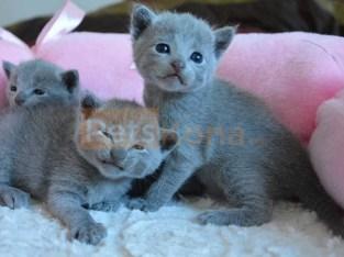 Cute Russian Blue Kittens for sale