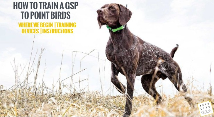 How to train a German Shorthaired Pointer to Point Birds