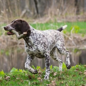 White Ticked GSP