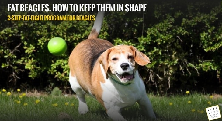 Why Do Beagles Get Fat?