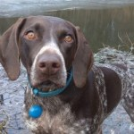Best Collar for GSP dog