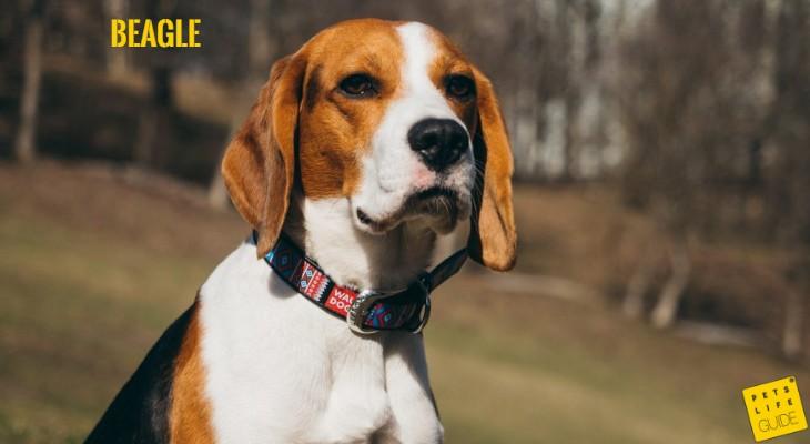 Beagle Breed
