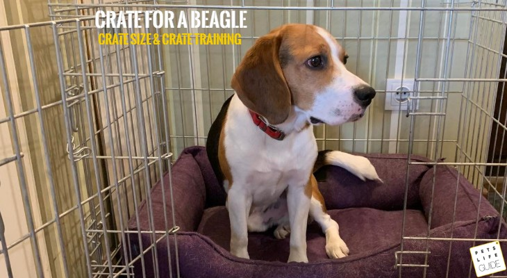 Best crate size for Beagle