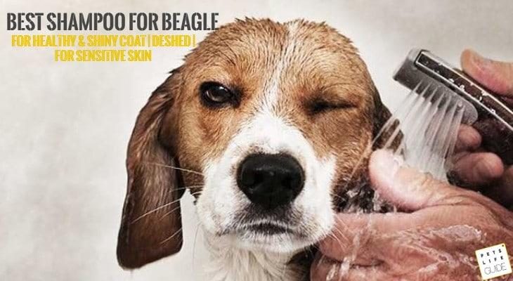 Best Shampoo for Beagle