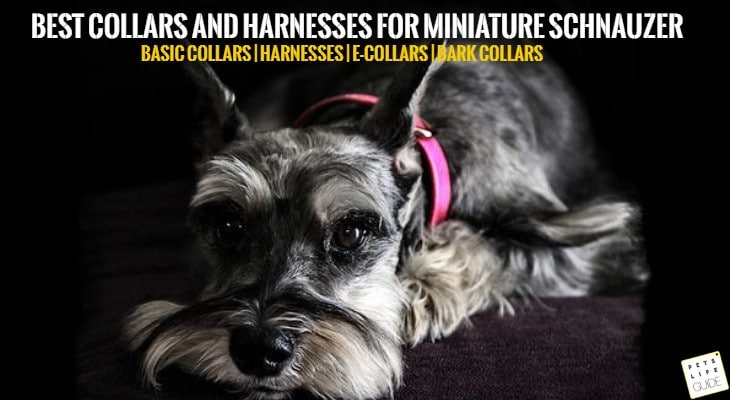 Best Collars for Miniature Schnauzer