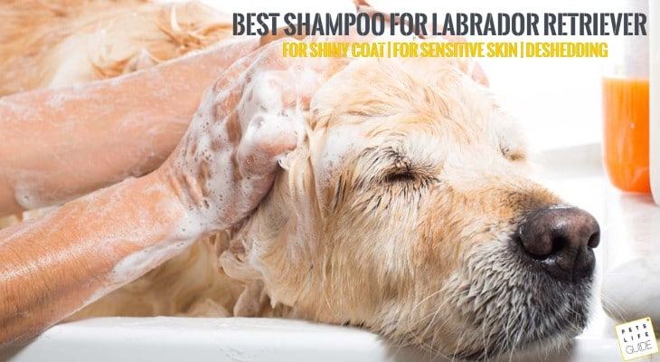 Best Shampoo For Labrador