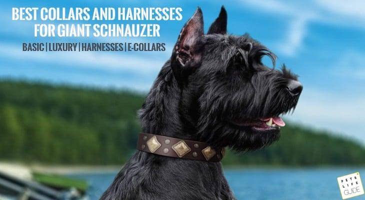 Basic Giant Schnauzer Collar