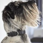 Best Collar for Standard Schnauzer
