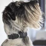 Best Collar for Standard Schnauzer