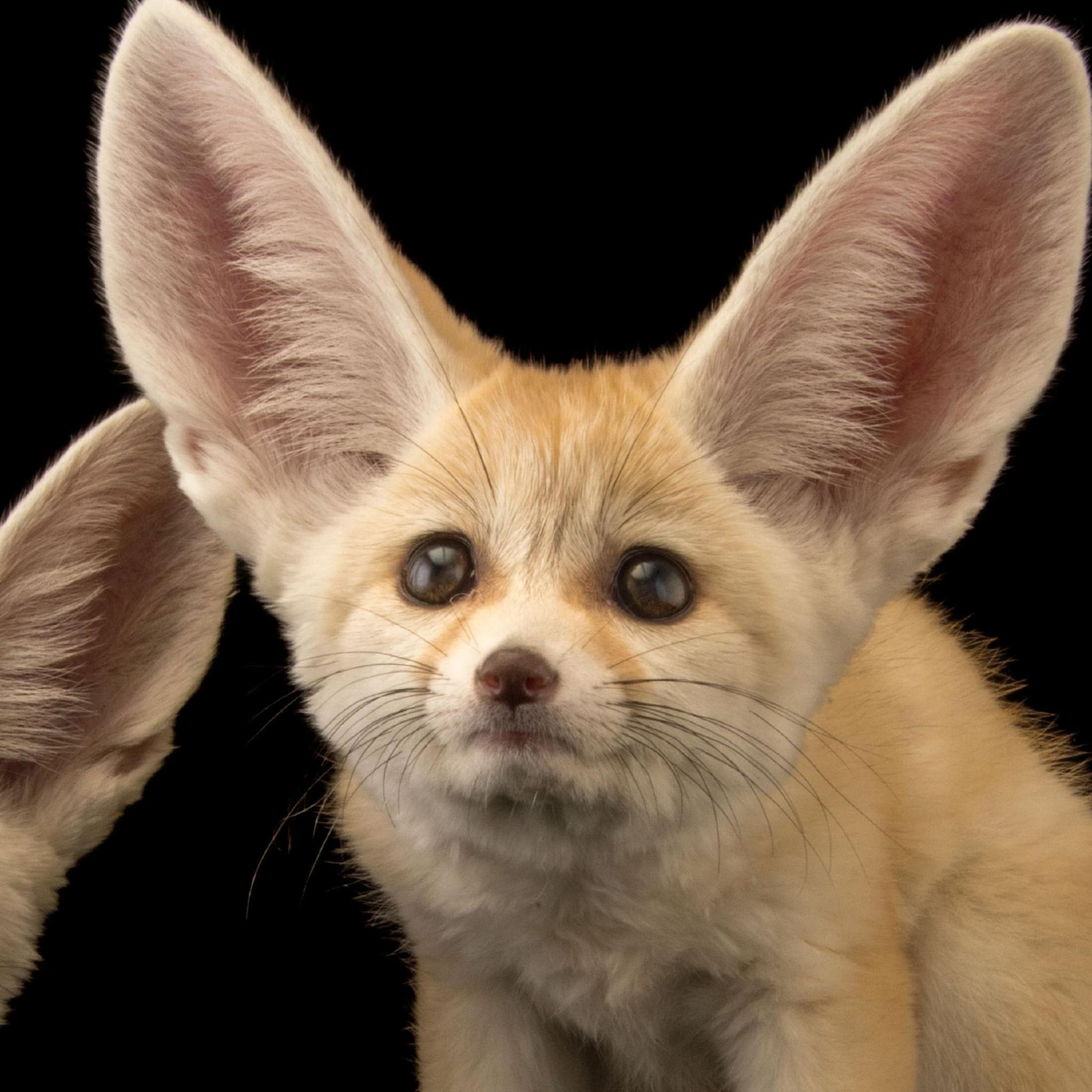 Petsnuturing Know The Real Facts About The Fennec Fox