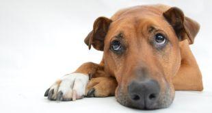 canine alzheimer's