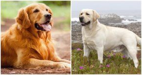 Golden Retriever vs Labrador