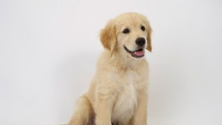 Golden Retriever Feeding Training Behavior