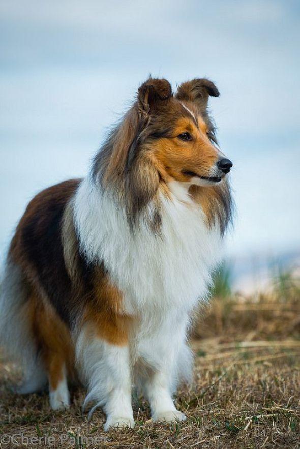 Shetland Sheepdog top 20 smartest dog breeds