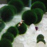 20pcs-Giant-Marimo-Moss-Balls-0612-Cladophora-aegagrophila-Live-Plant-Freshwater-Aquarium-0-2