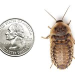25-Extra-Large-Dubia-Roaches-0